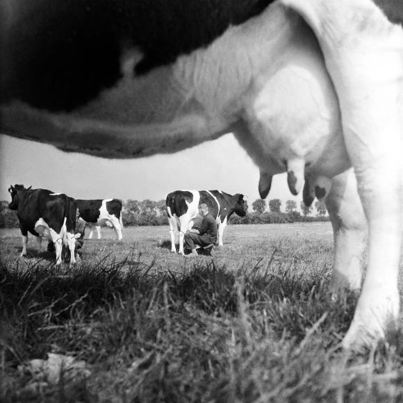 Cas Oorthuys, 'Met de hand melken zwartbont vee', 1944, via Nederlands Fotomuseum
